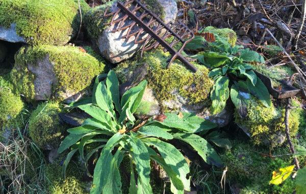 En växt som växer i ett stenröse. I bakgrunden ligger ett rostigt föremål.