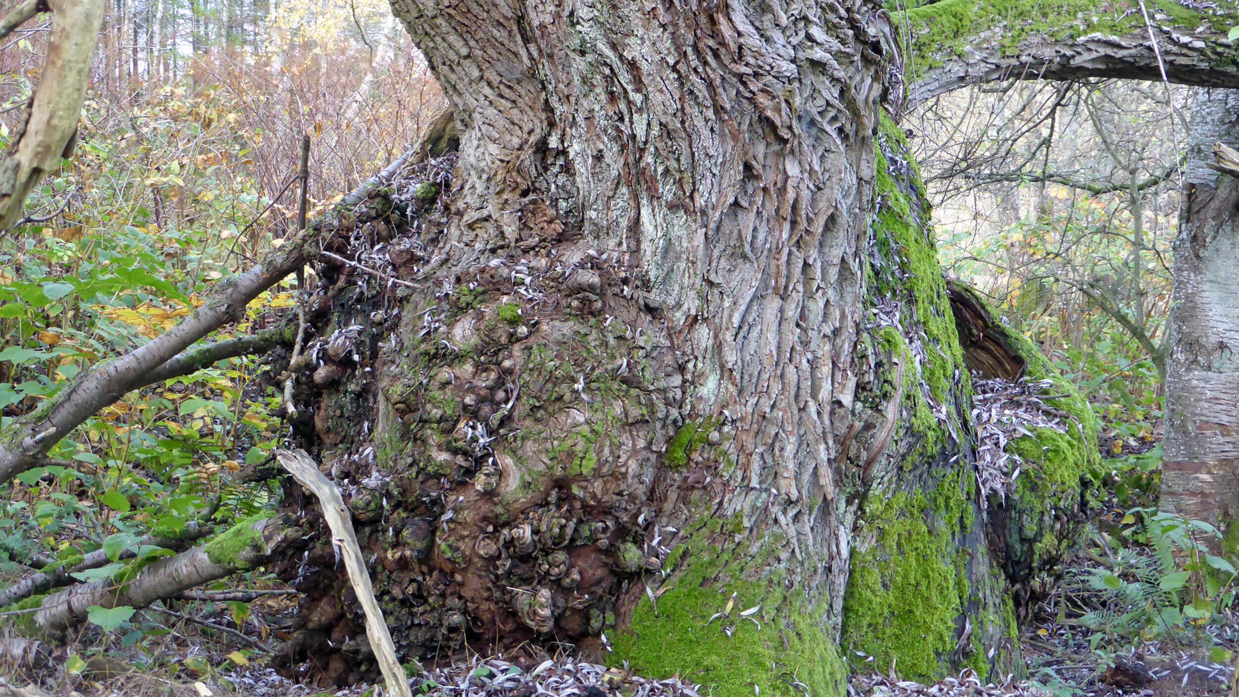 Ett gammalt träd.